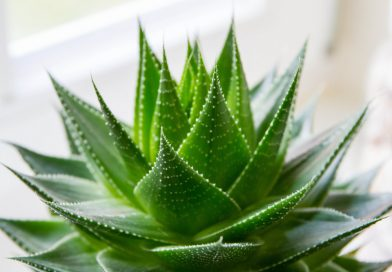 Aloe vera si beneficiile sale